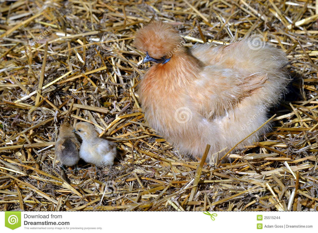 Bantam Hen And Baby Chicks Stock Images - Image: 25515244