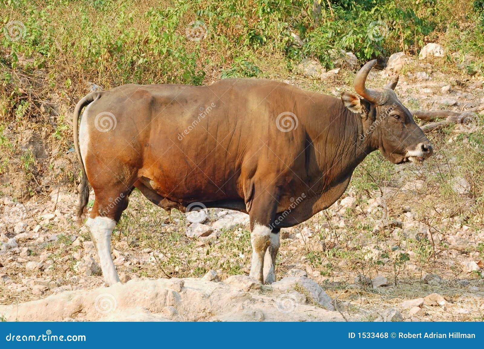 Banteng ταύρος