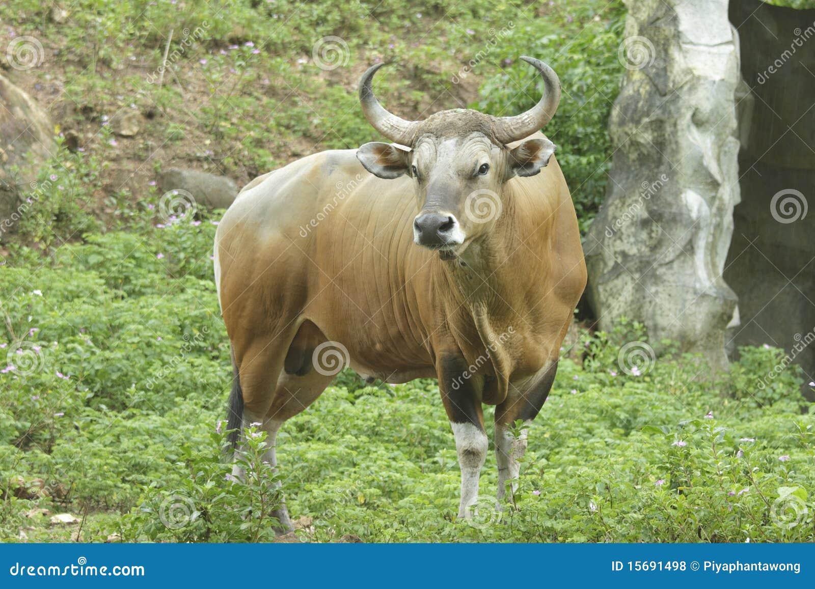 Asian Wild Ox 120