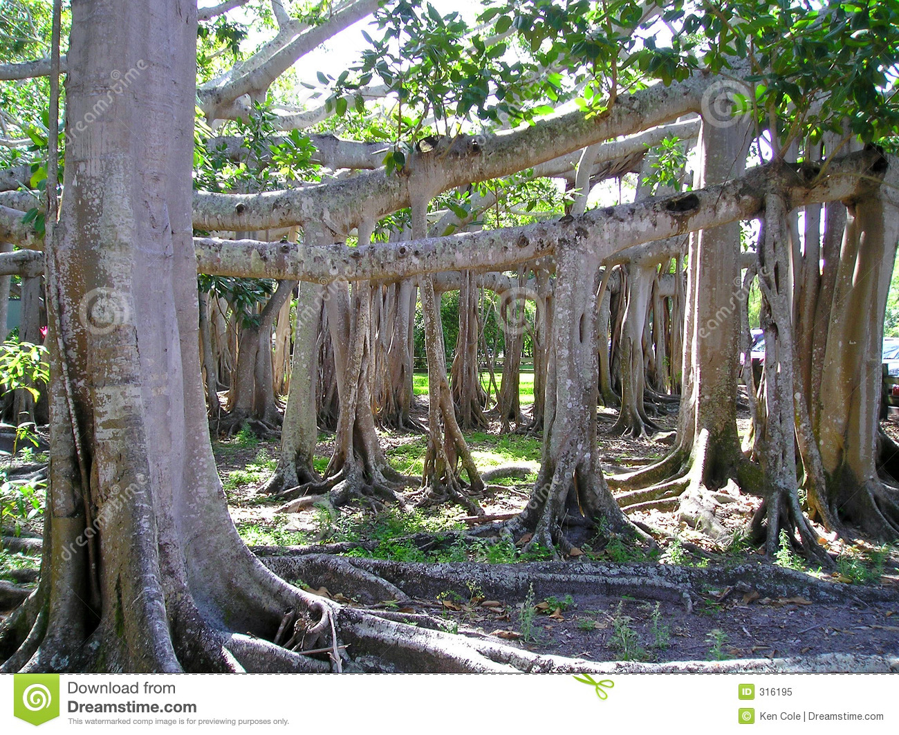 Banyan Tree Stock Image Image Of Root Florida Banyan