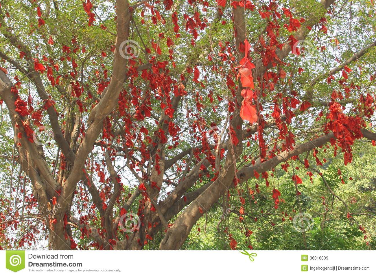 Banyan tree of happiness with red ribbons in china royalty for Red ribbon around tree