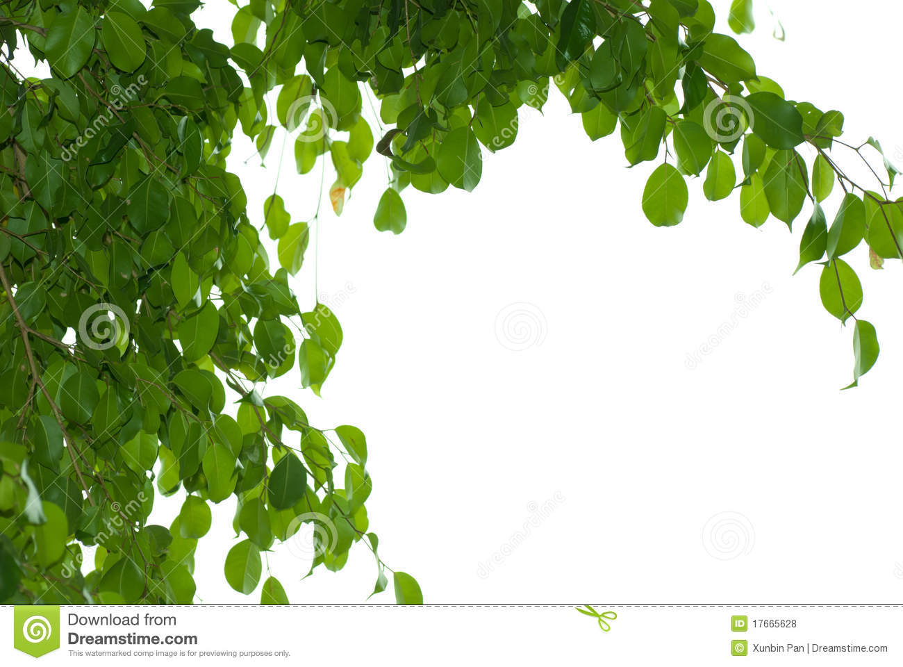 leaves of the banyan tree A banyan or barh or bargat tree in india considered holy by hindus and worshipped a banyan (also banian) is a fig that starts its life as an epiphyte (a pl.