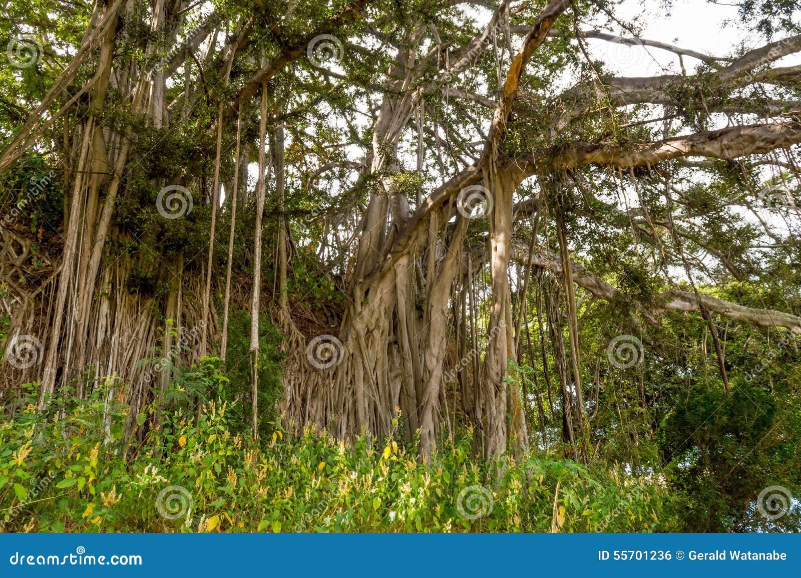 Banyanboom
