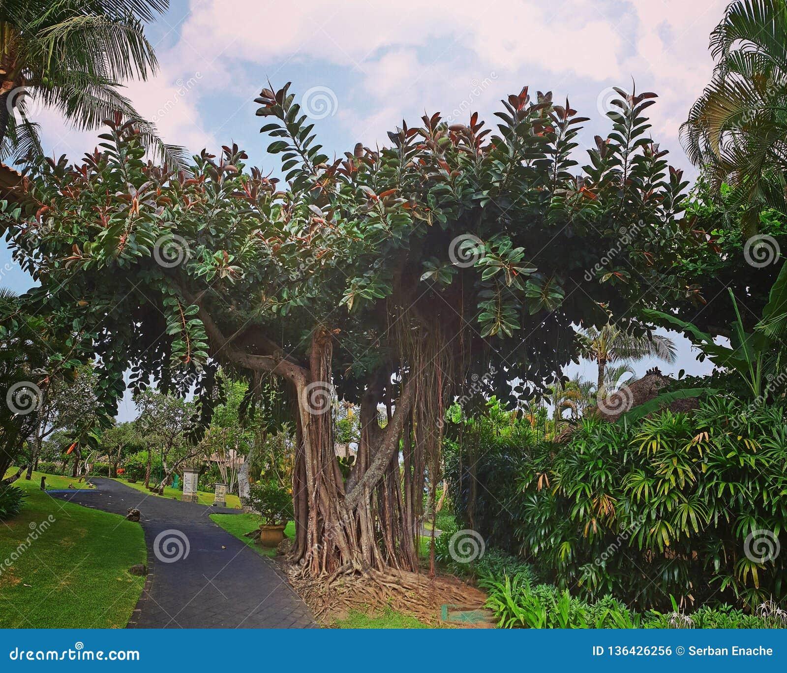 Banyanträd