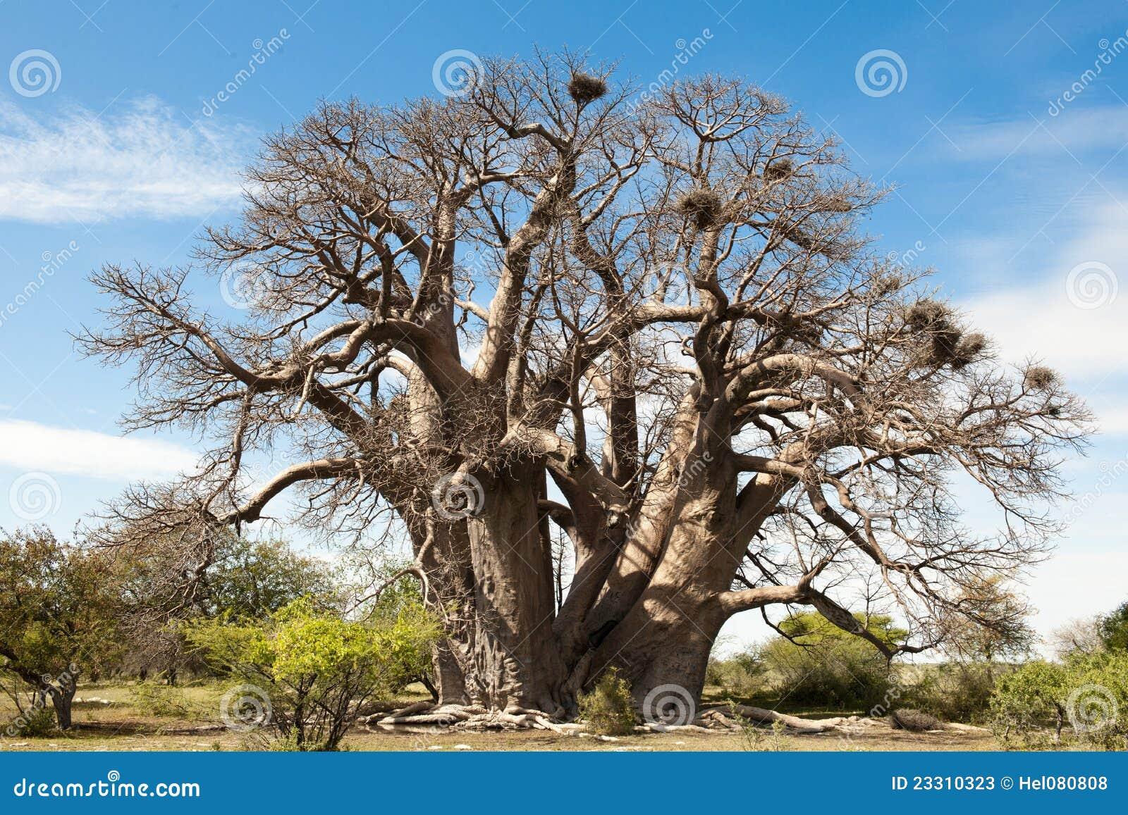 Baoba-Árvore