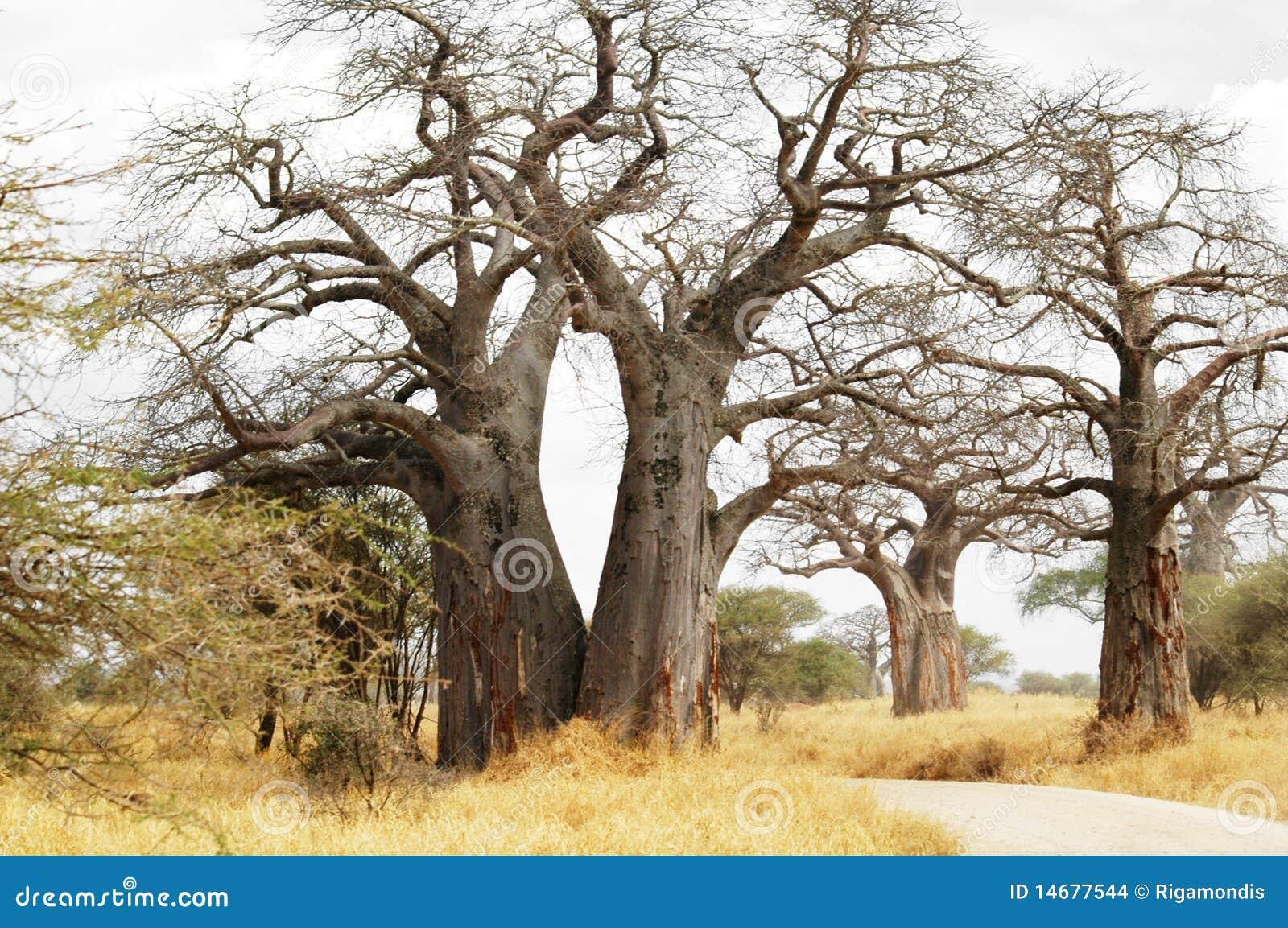 Baobabów drzewa