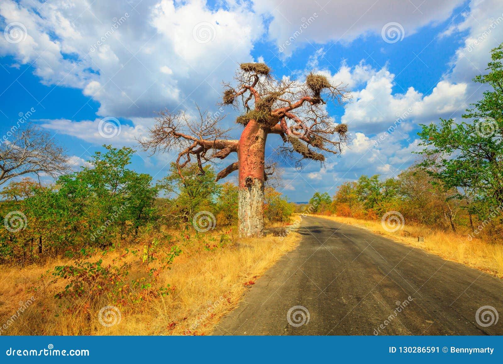 Baobab en Musina