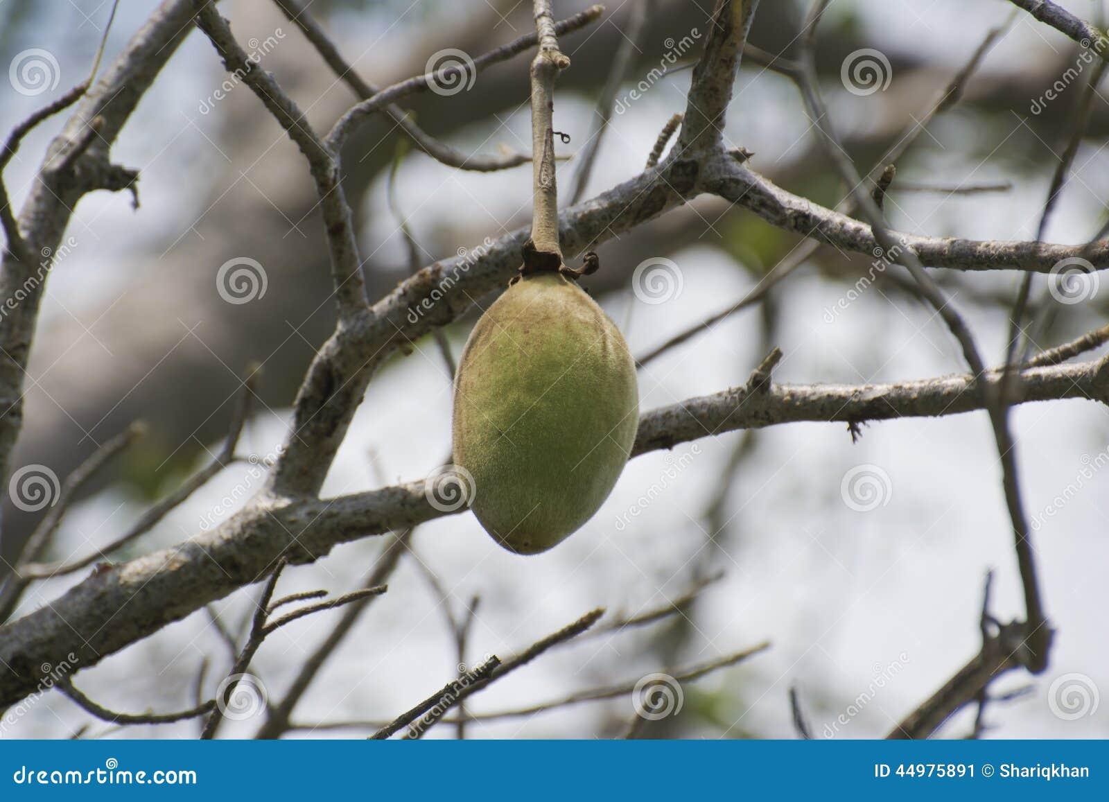 Baobab Frucht Die Am Baum Hangt Stockbild Bild Von D0 Nave 44975891