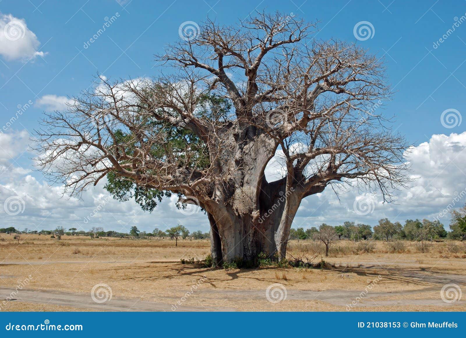 Baobab tree in dry African savanna - Tanzania