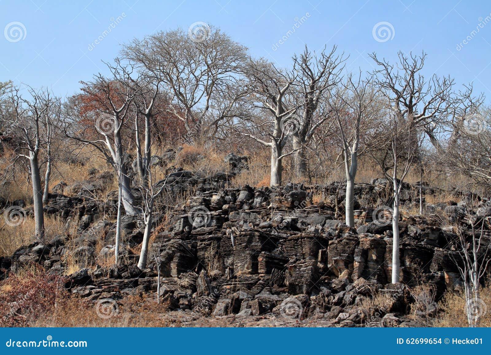 Baobab trees in the african savannah stock photo image for Landscaping rocks savannah ga