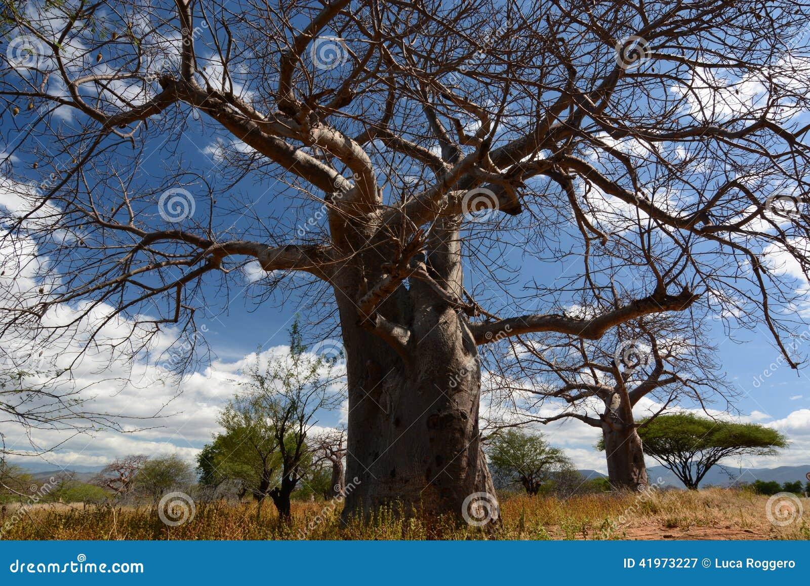 Baobab valley, Great Ruaha River. Tanzania