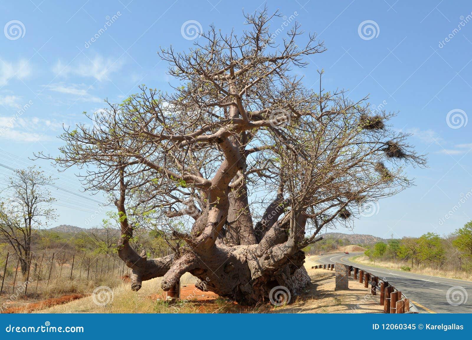 baobabbaum stockbild bild von gigantisch safari massiv. Black Bedroom Furniture Sets. Home Design Ideas