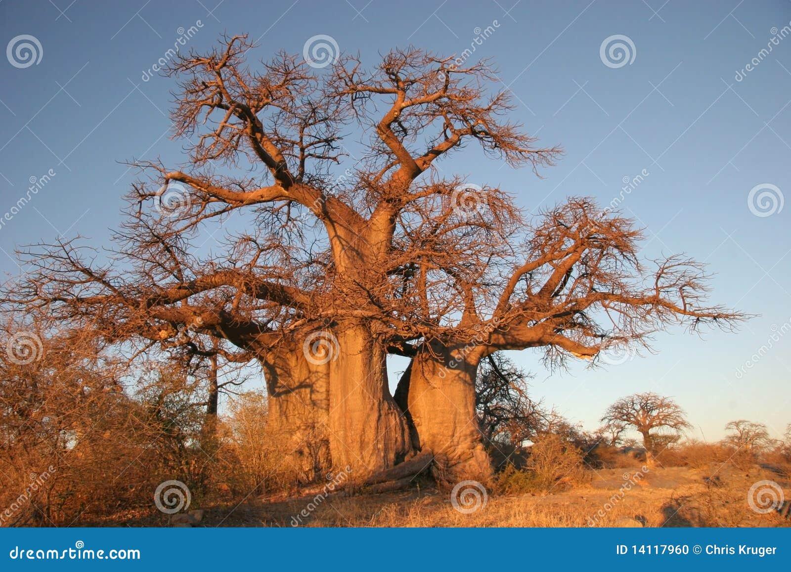 Baobabbotswana tree