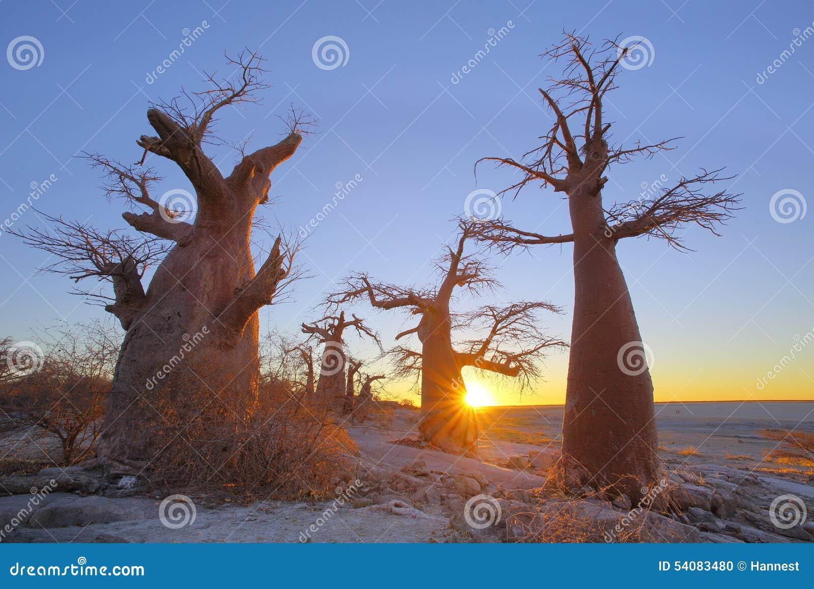 Baobabs op Kubu-Eiland bij zonsondergang