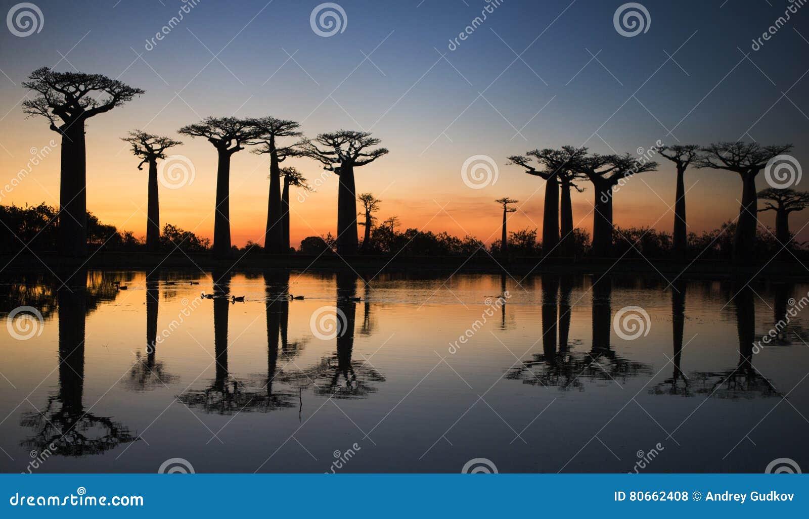 Baobabs på soluppgång nära vattnet med reflexion madagascar