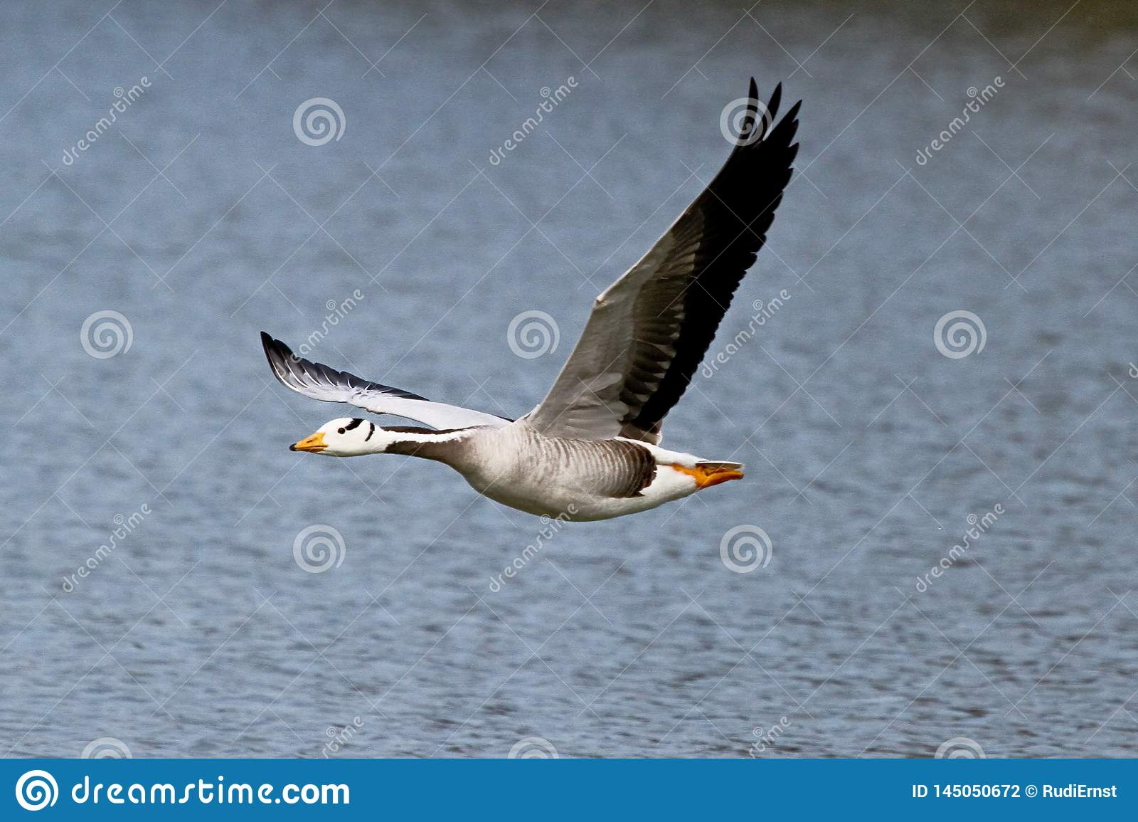 The Bar Headed Goose Anser Indicus Seen In English Garden In Munich