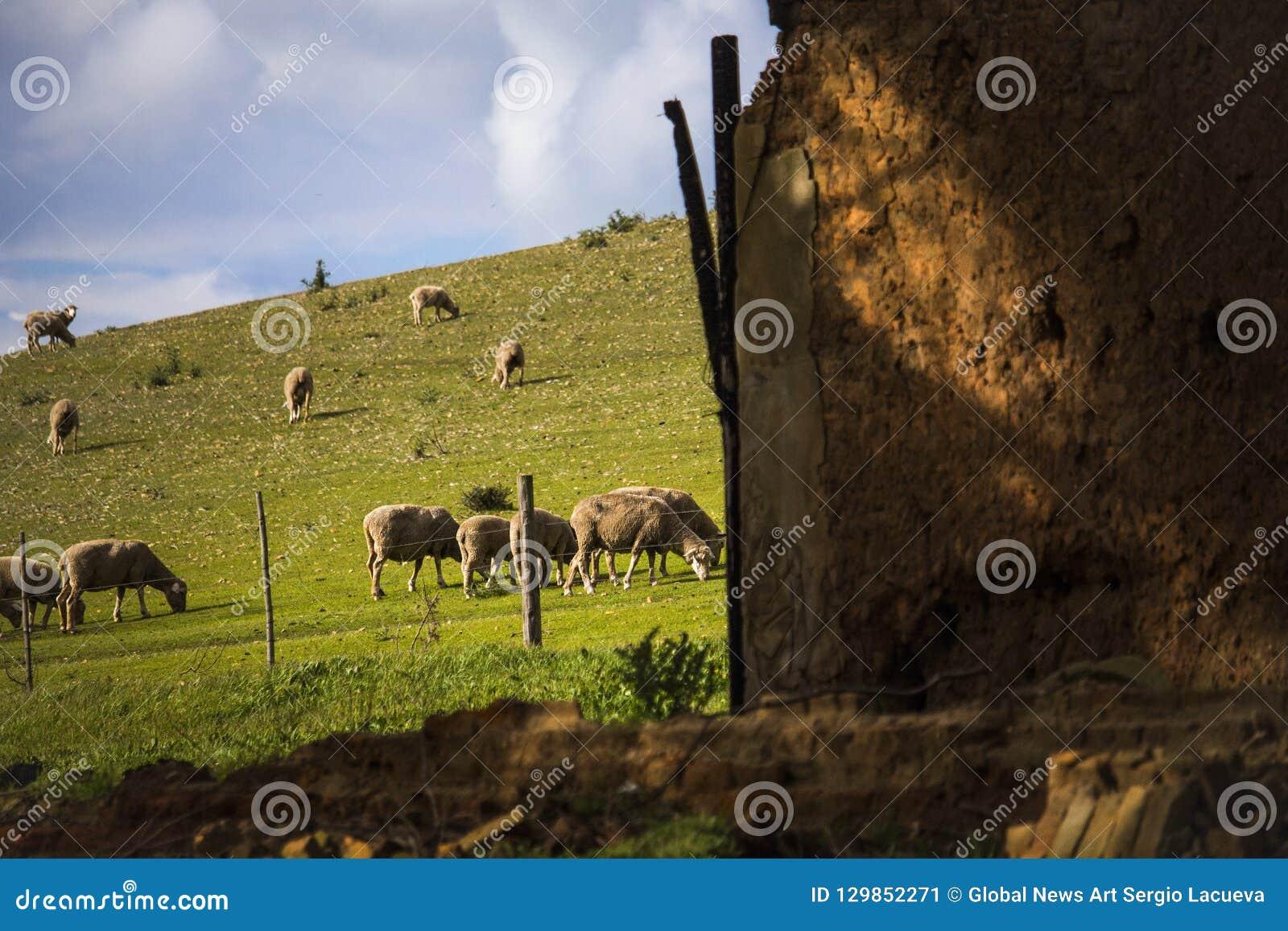 Barani pasanie w zieleni polach z ruiną w przedpolu - Napier, Zachodni przylądek, Południowa Afryka