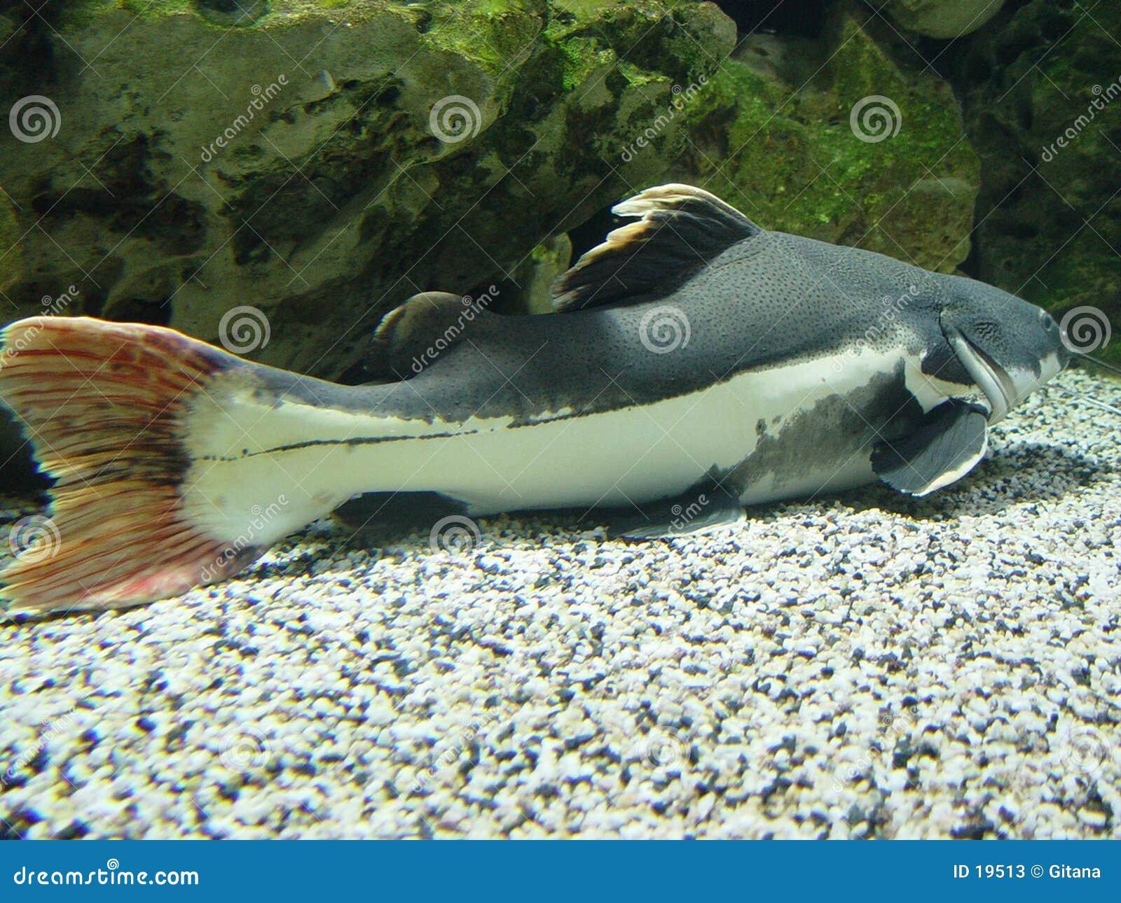 Barba longa dos peixes