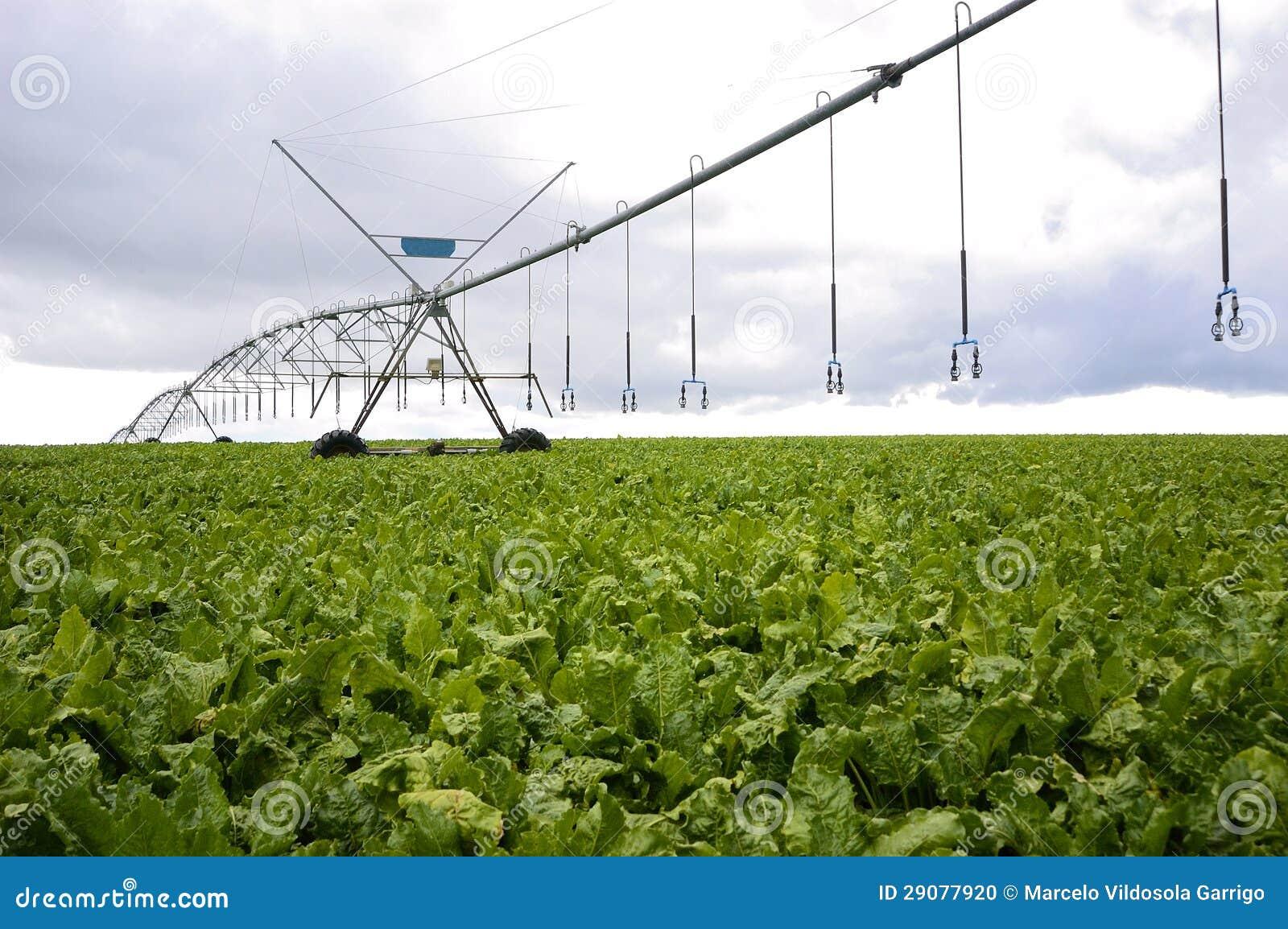 Barbabietole con il sistema di irrigazione a pioggia for Sistema irrigazione