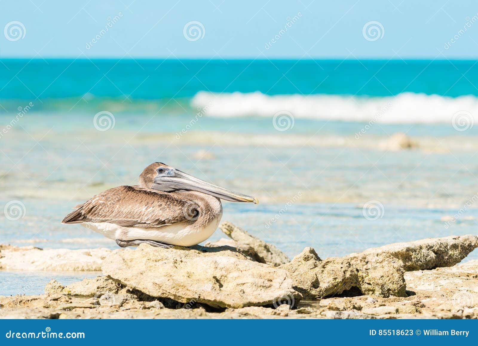 Barbara belfra brąz California środkowy nabrzeżny wczesny piórek marina ranek pelikan umieszczał molo Santa