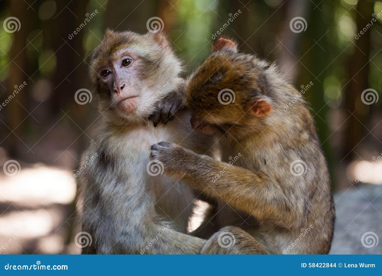 Barbary-Affen, die sich pflegen