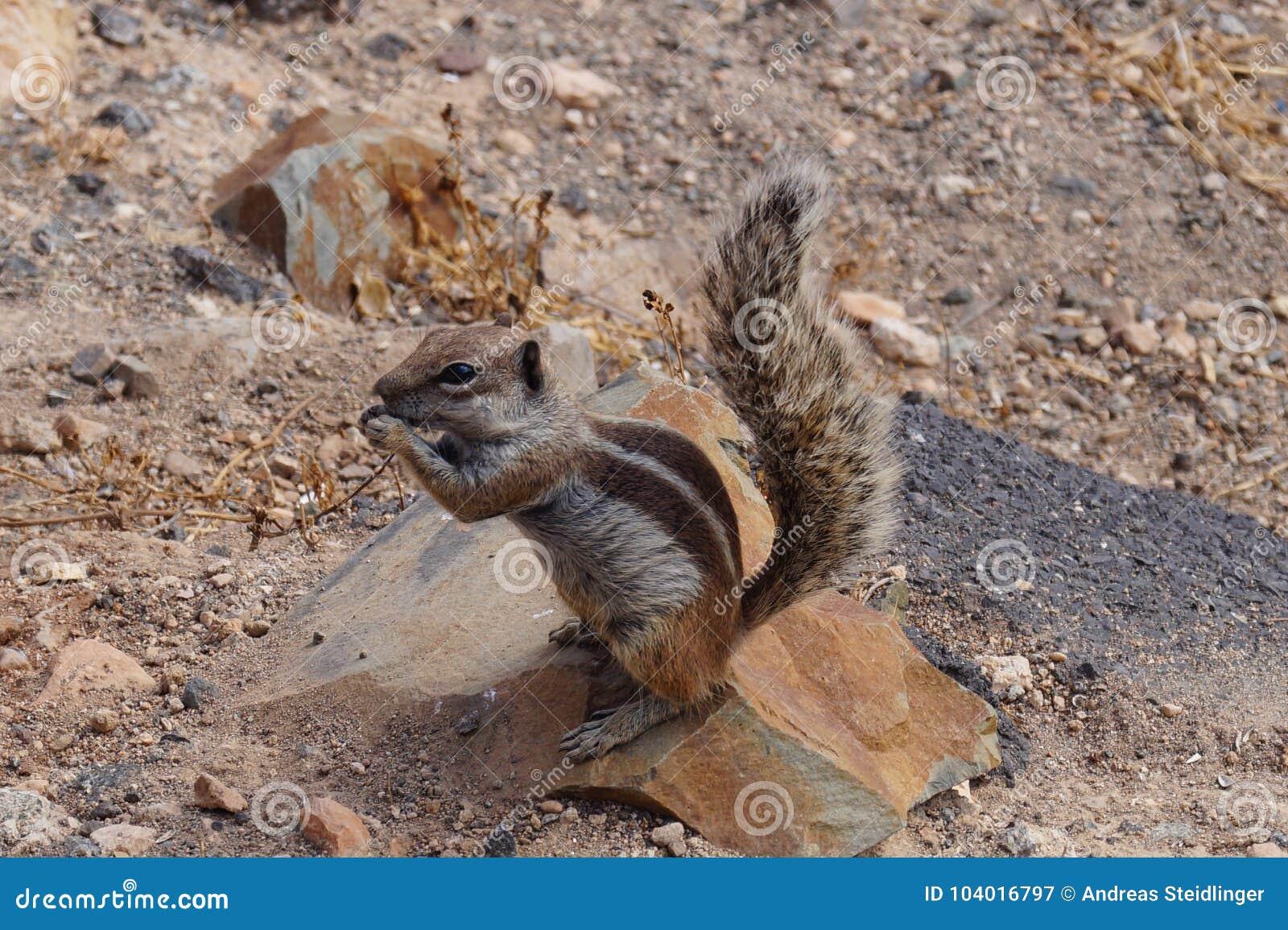 Atlantoxerus getulus - Barbary ground squirrel