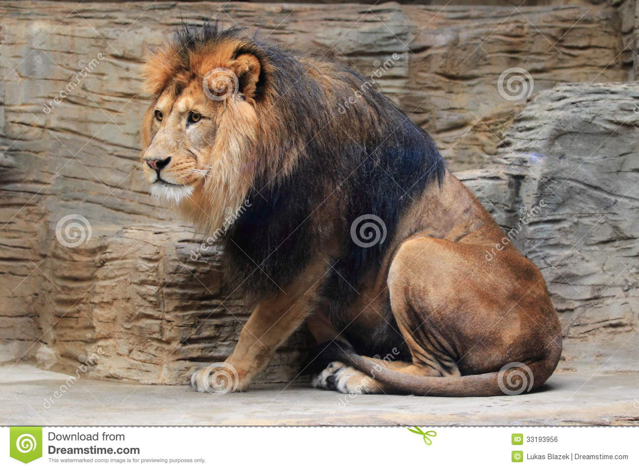 Barbary Lion Royalty Free Stock Image - Image: 33193956