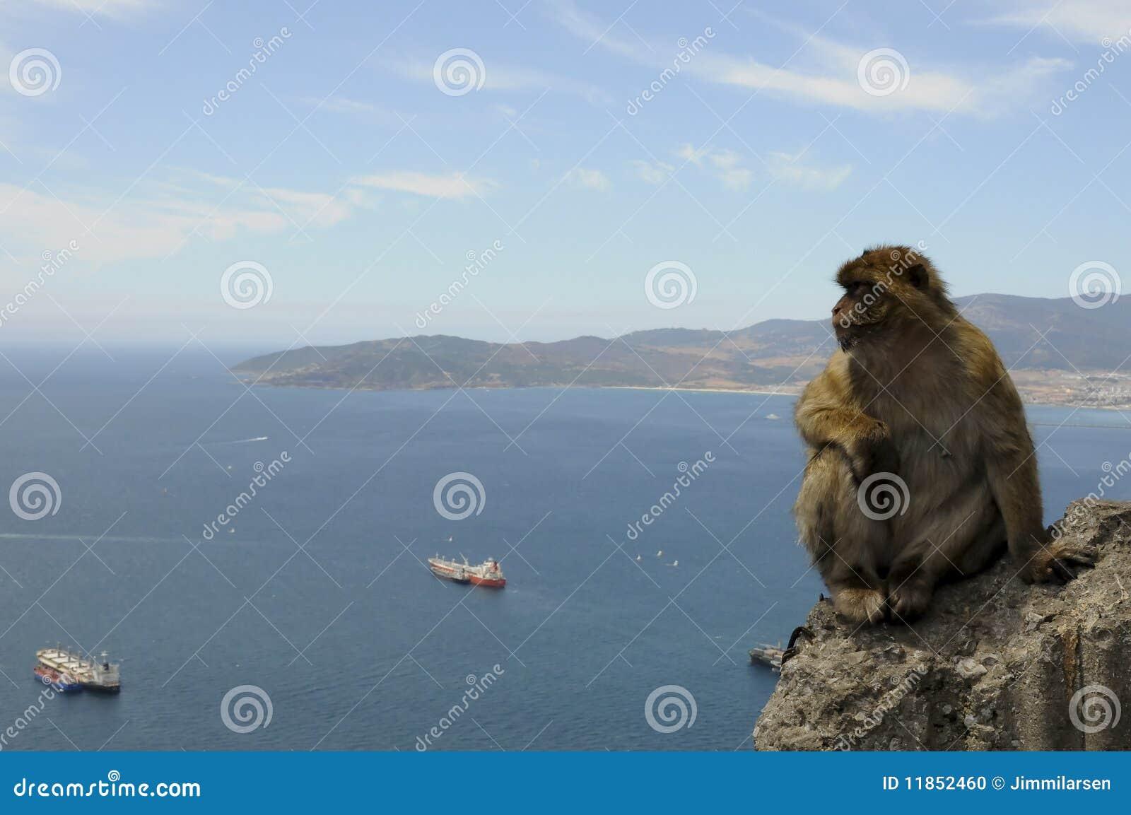Barbary Macaque thinking