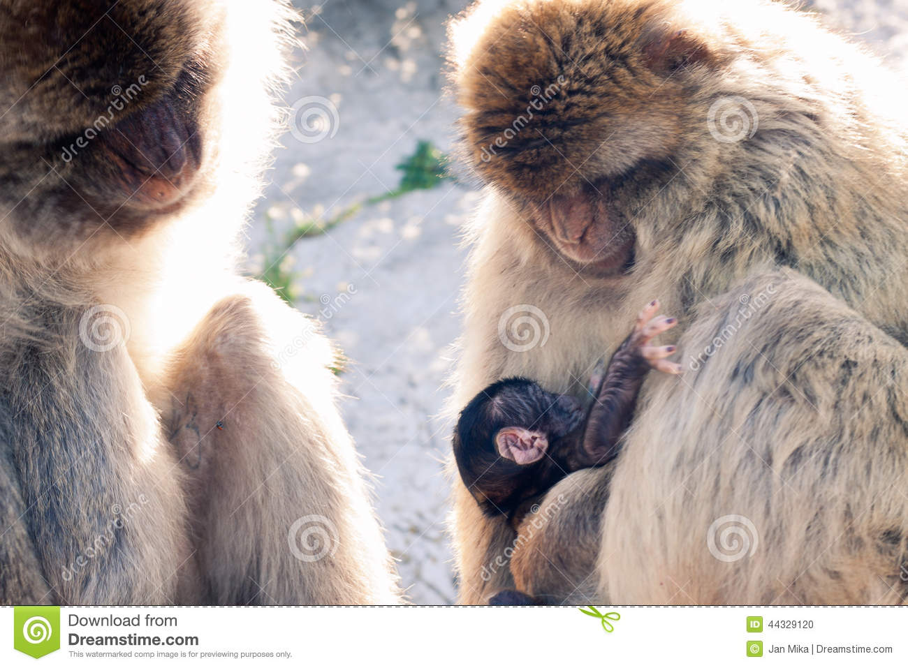 Barbary Macaques