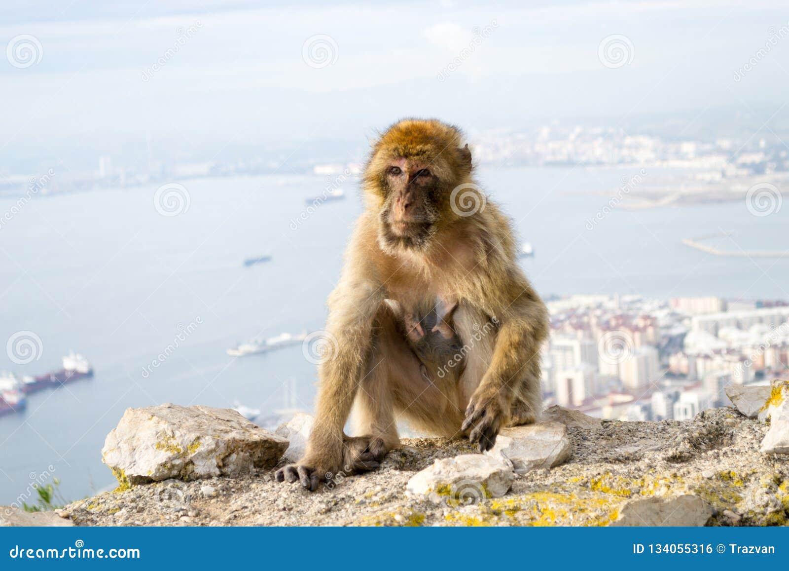 Barbary-Makakenaffe in Gibraltar