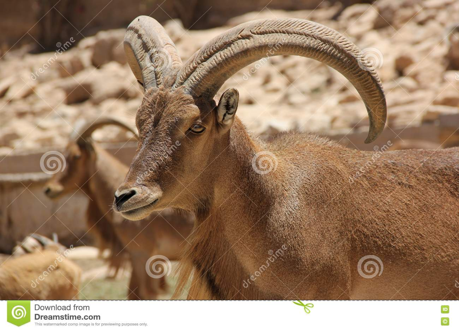 Download Barbary Sheep stock photo. Image of lervia, antelope - 76597242