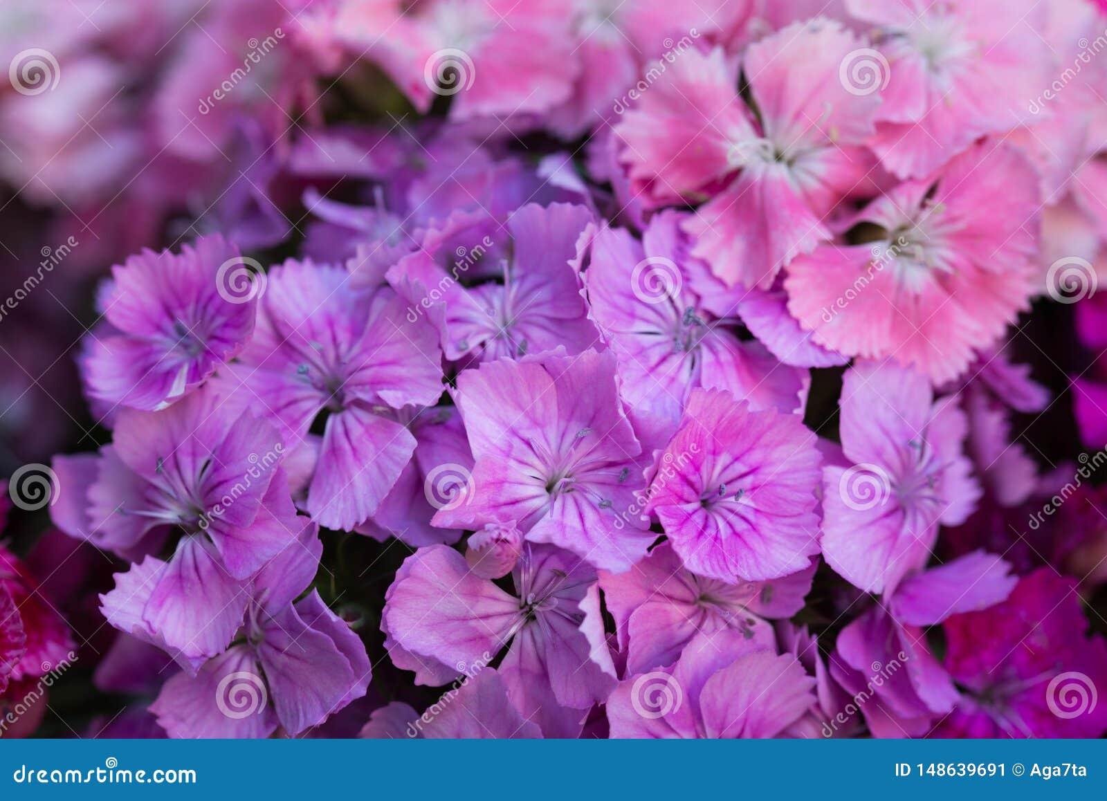 Barbatus гвоздики, сладкий макрос цветков Вильям розовый