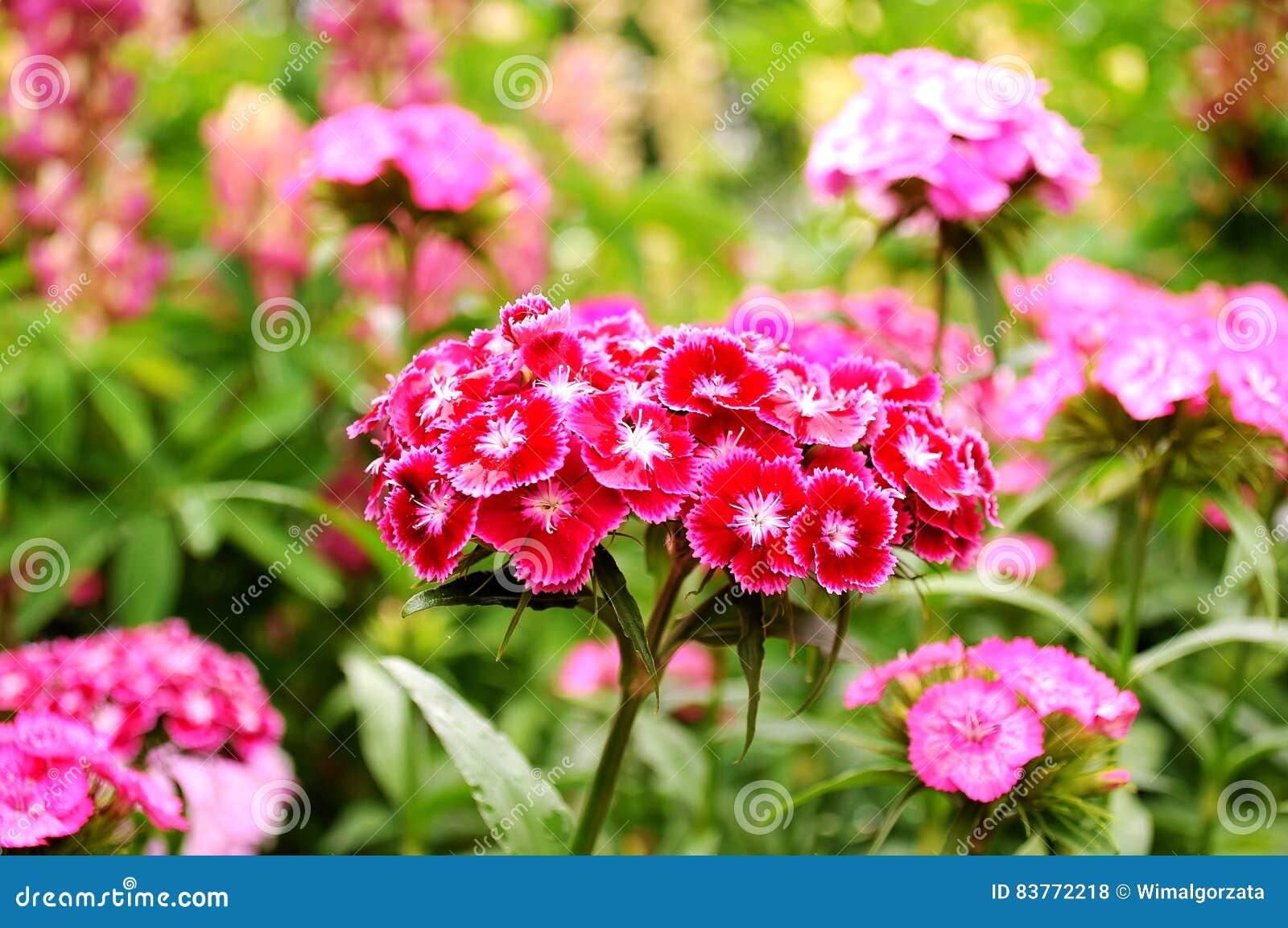 Barbatus del clavel Flores dulces de Guillermo