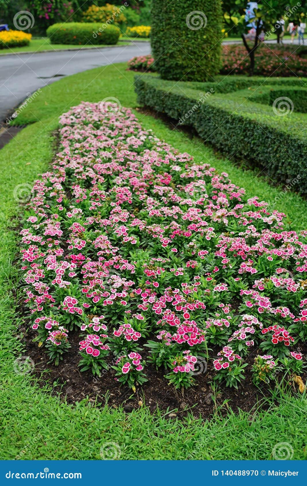Barbatus Dianthus ή γλυκό λουλούδι του William στον κήπο