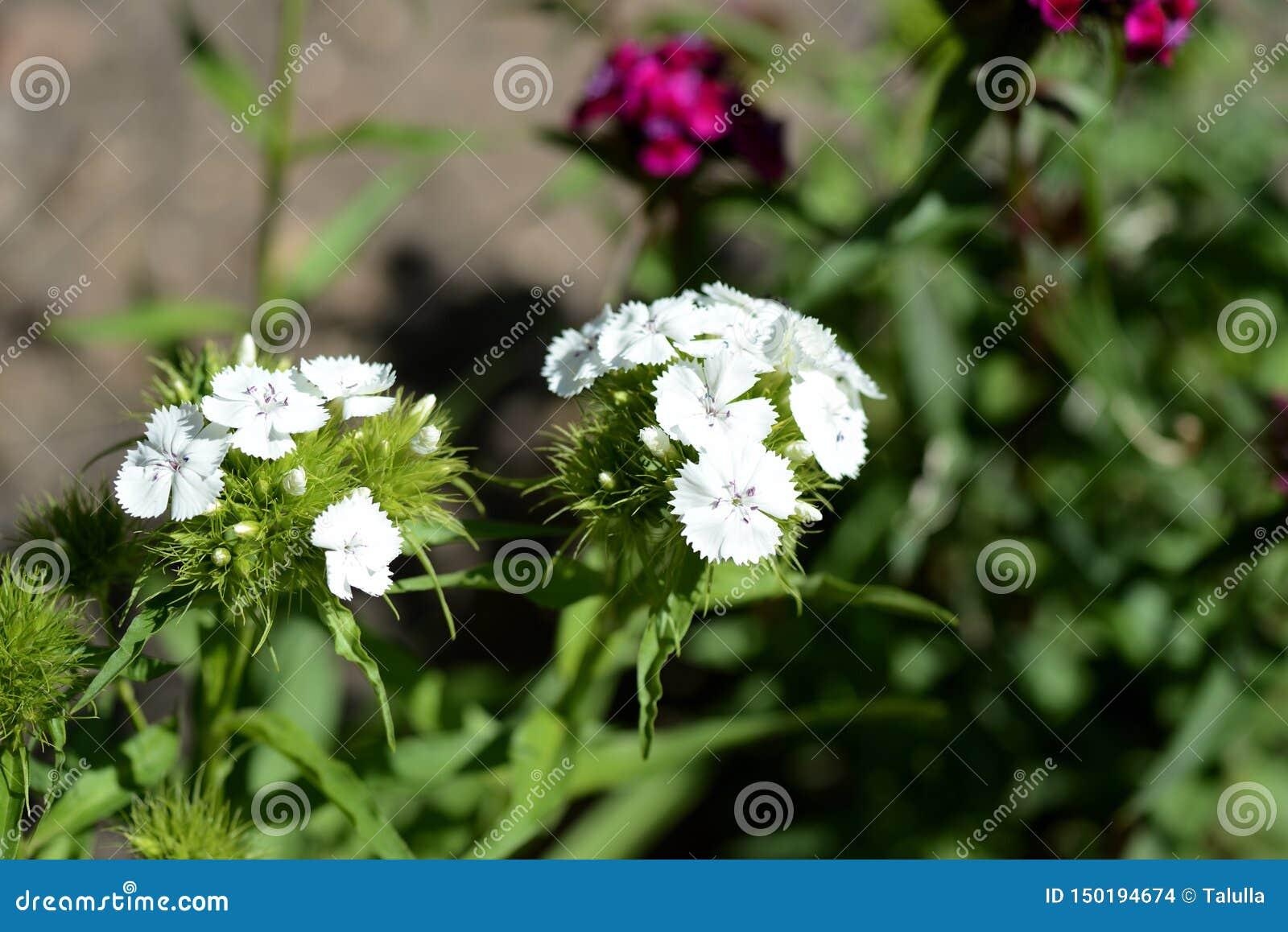 Barbatus dulce hermoso del clavel de las flores de Guillermo en el jardín