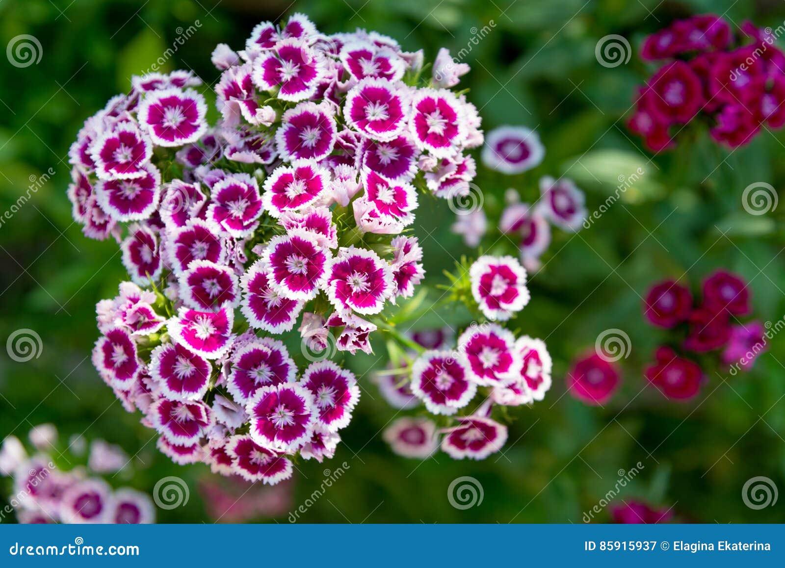 Barbatus floreciente del clavel, flor dulce de Guillermo