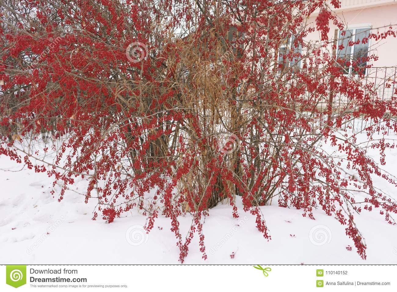 Barberry Bush With Red Berries In The Snow Winter Landscape