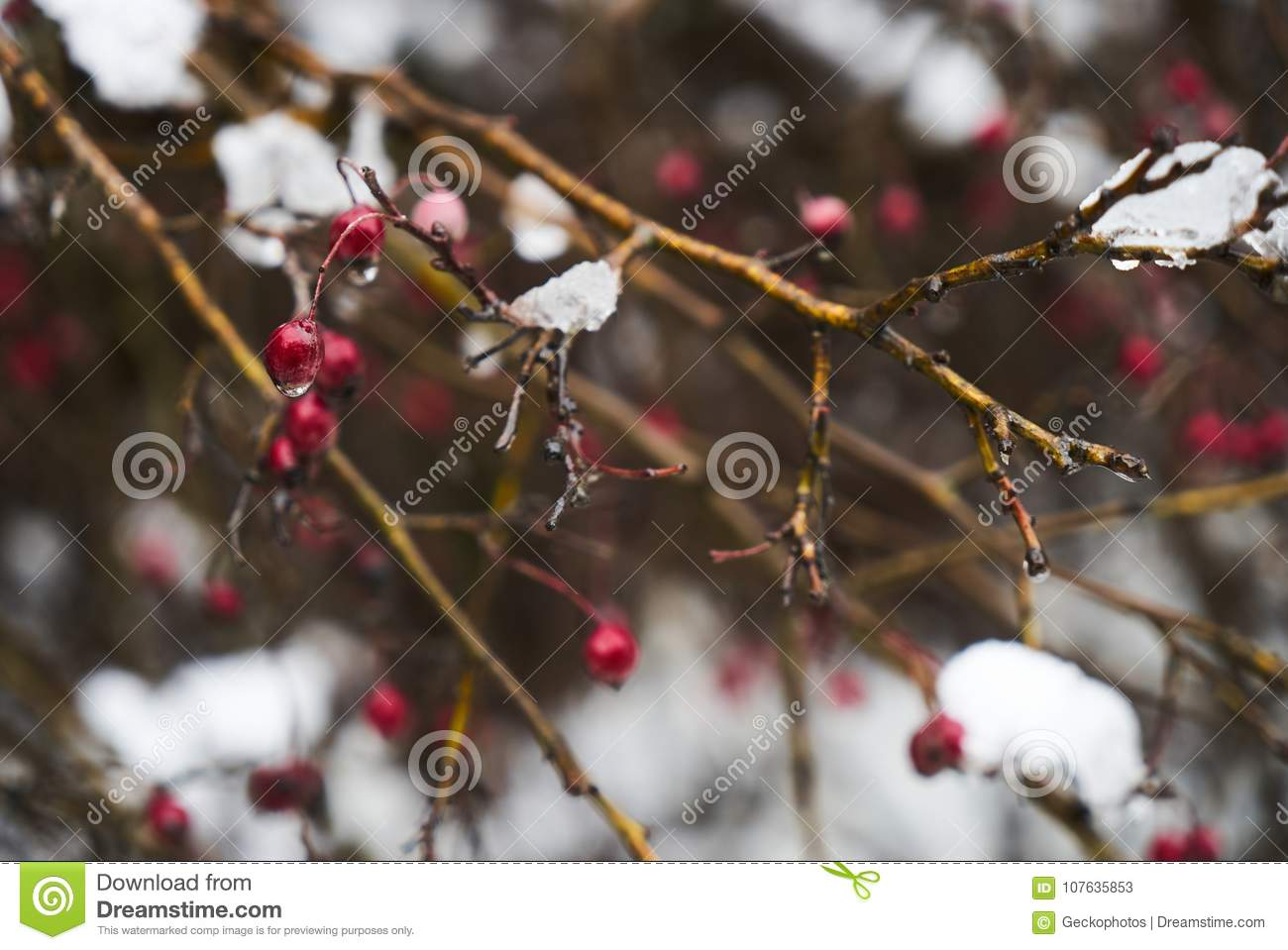 Barberry Bushes With Red Berries In Winter Under The Snow Stock