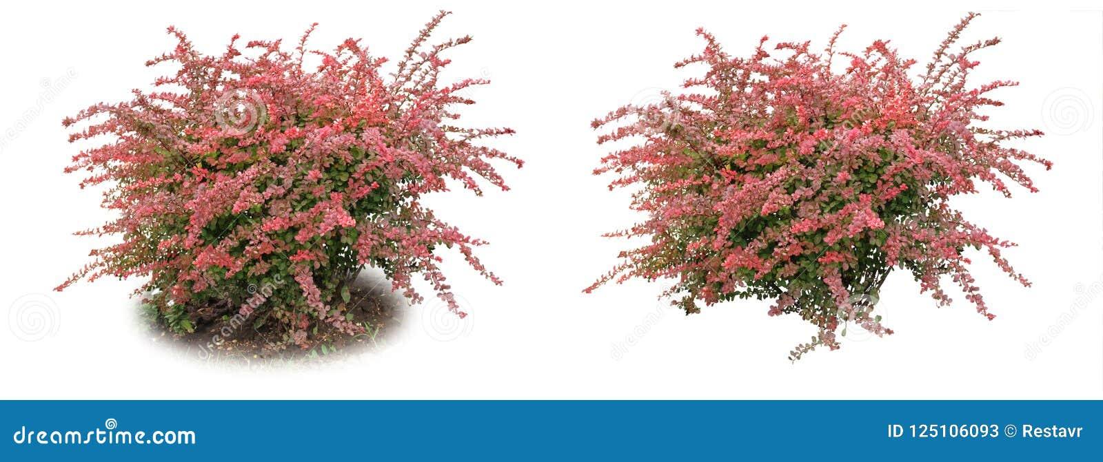 Barberrydet vanliga - en dekorativ buske