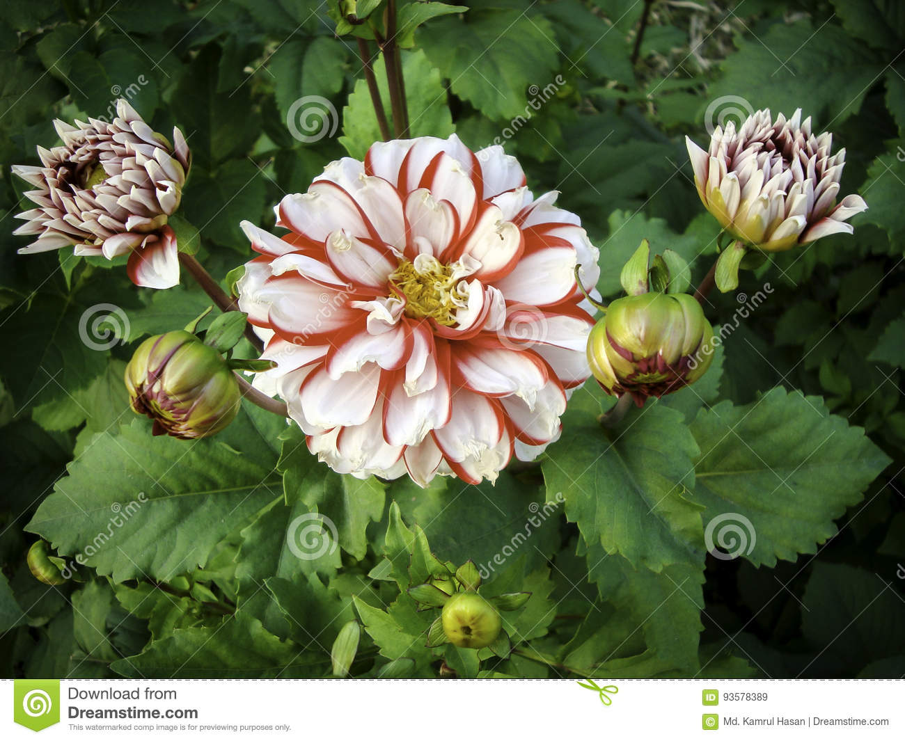 Barbershop Red And White Bicolor Dahlia Stock Image Image Of
