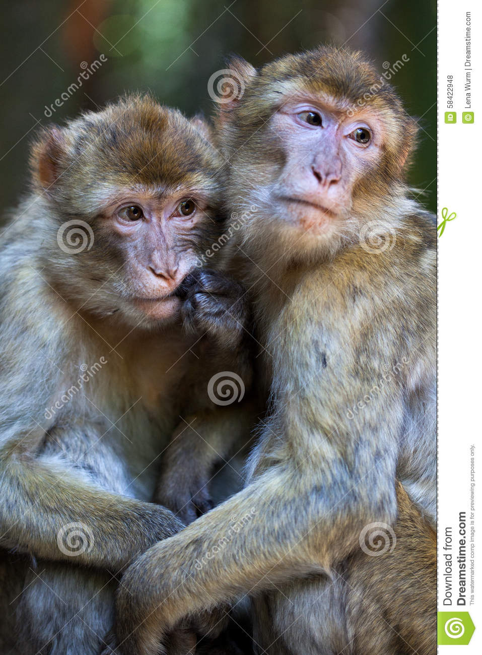 Barbery Apes, Familiarity Stock Photo - Image: 58422948