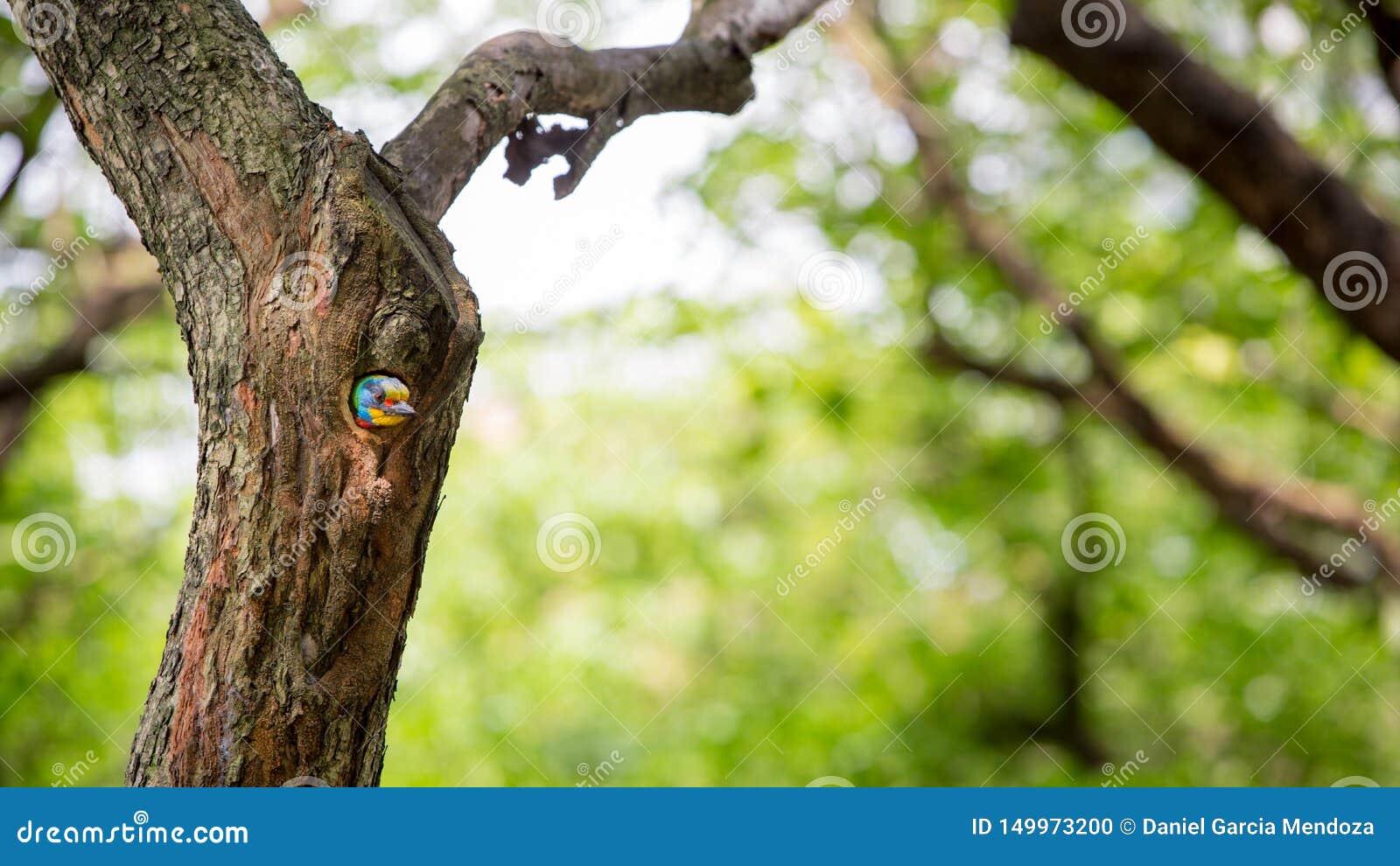 Barbet Тайваня птицы в гнезде отверстия на дереве на Тайване Daan Forest Park