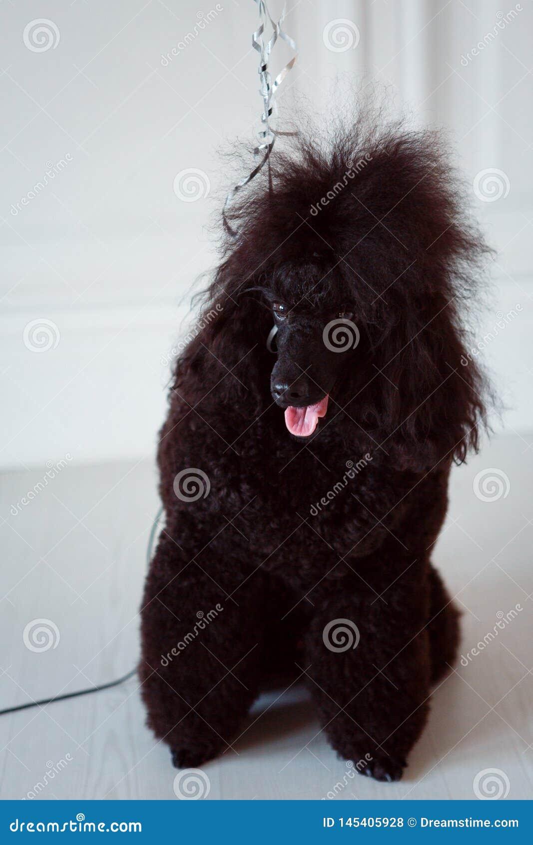 Barboncino del cane nero su un guinzaglio