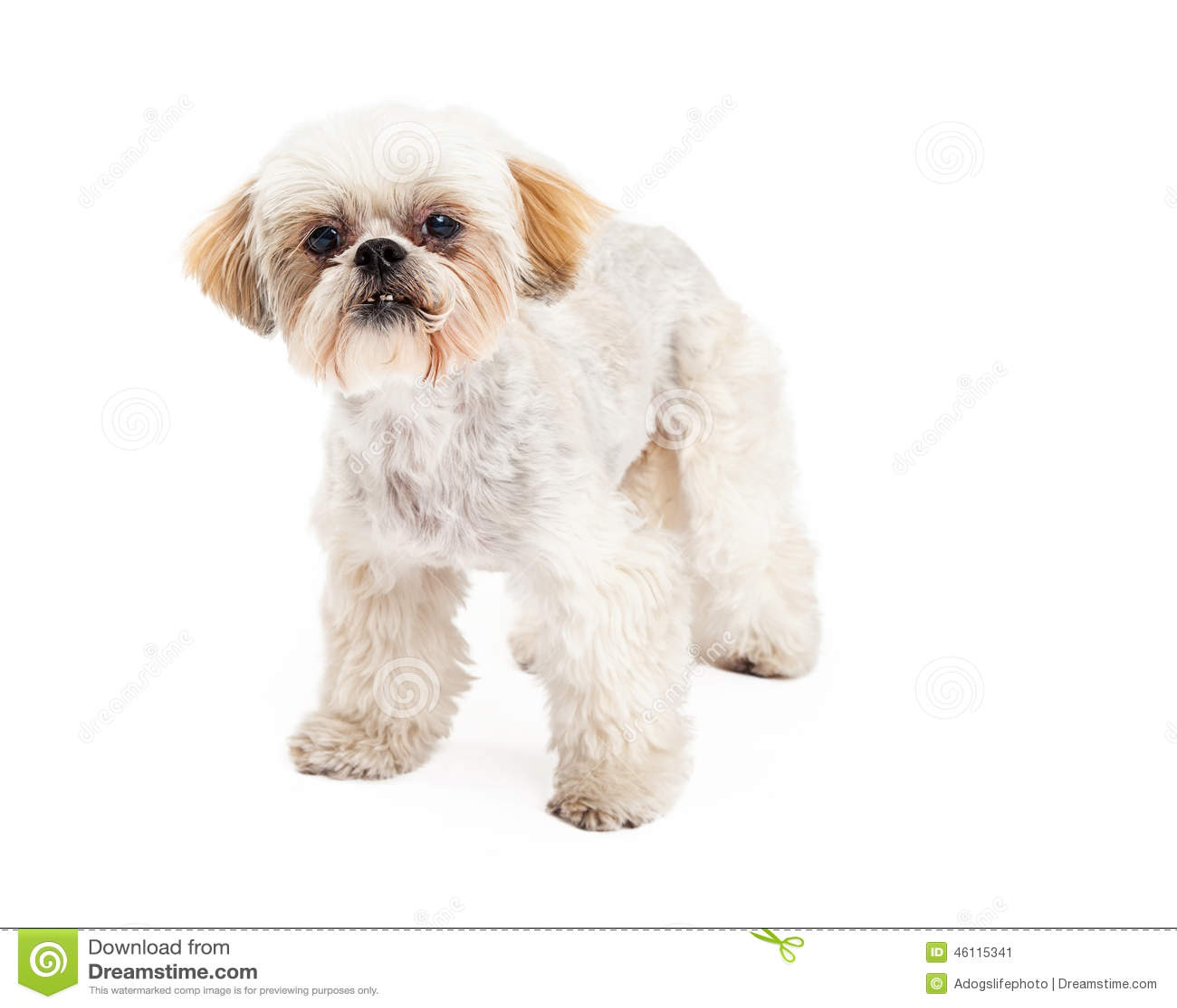 Barboncino sveglio e condizione maltese del cane della for Cane razza maltese
