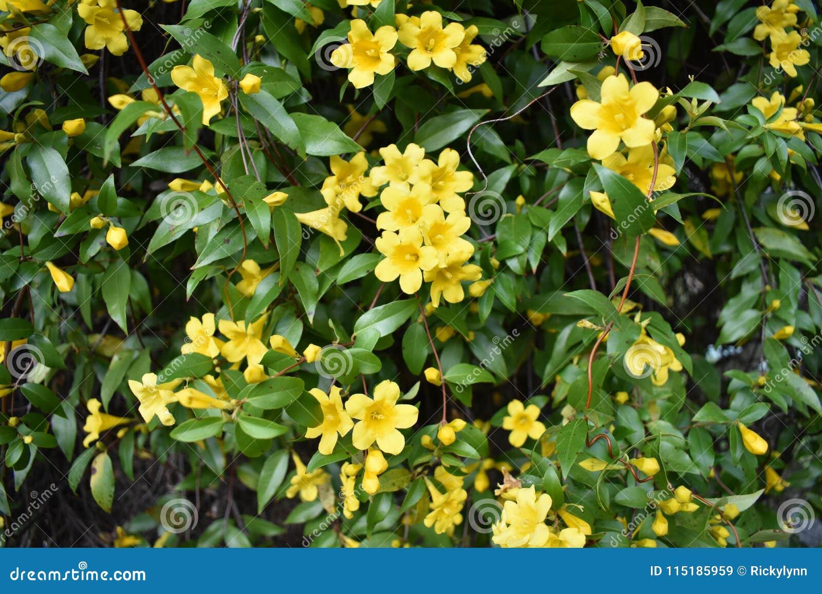 Yellow Jasmine Vines In East Texas Stock Image Image Of Green