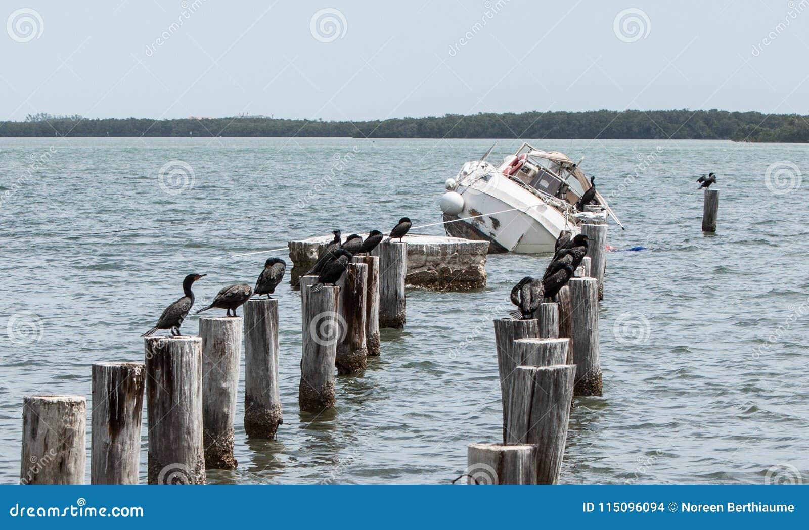 Barca d affondamento in Florida con la moltitudine di cormorani