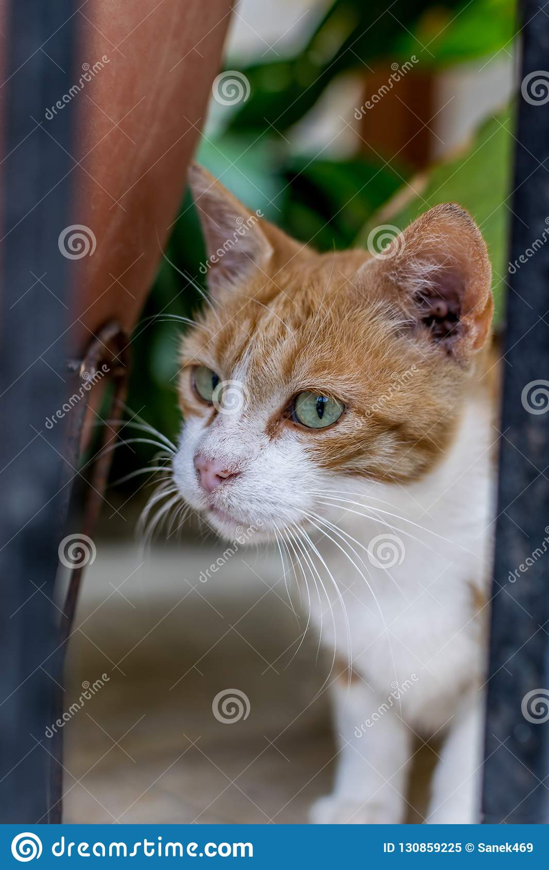 Bardzo baczny imbirowy kot