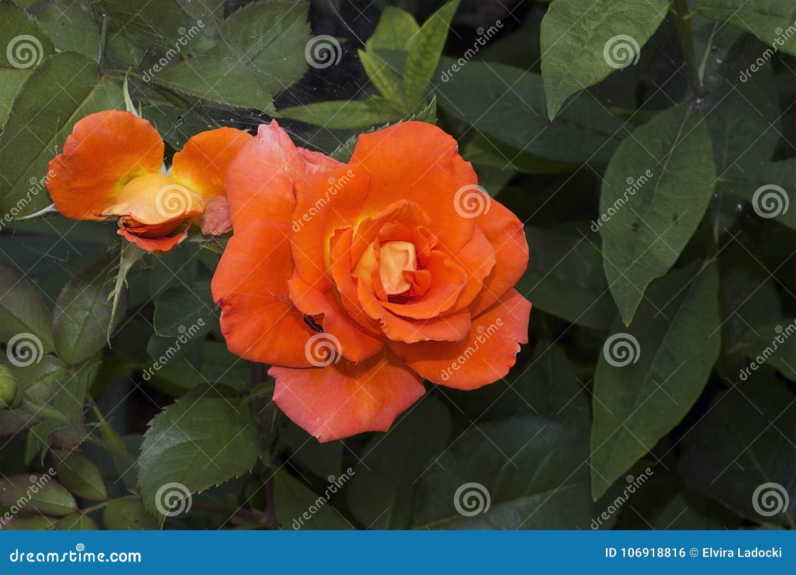 Bardzo dosyć kolorowy pomarańcze róży zakończenie up
