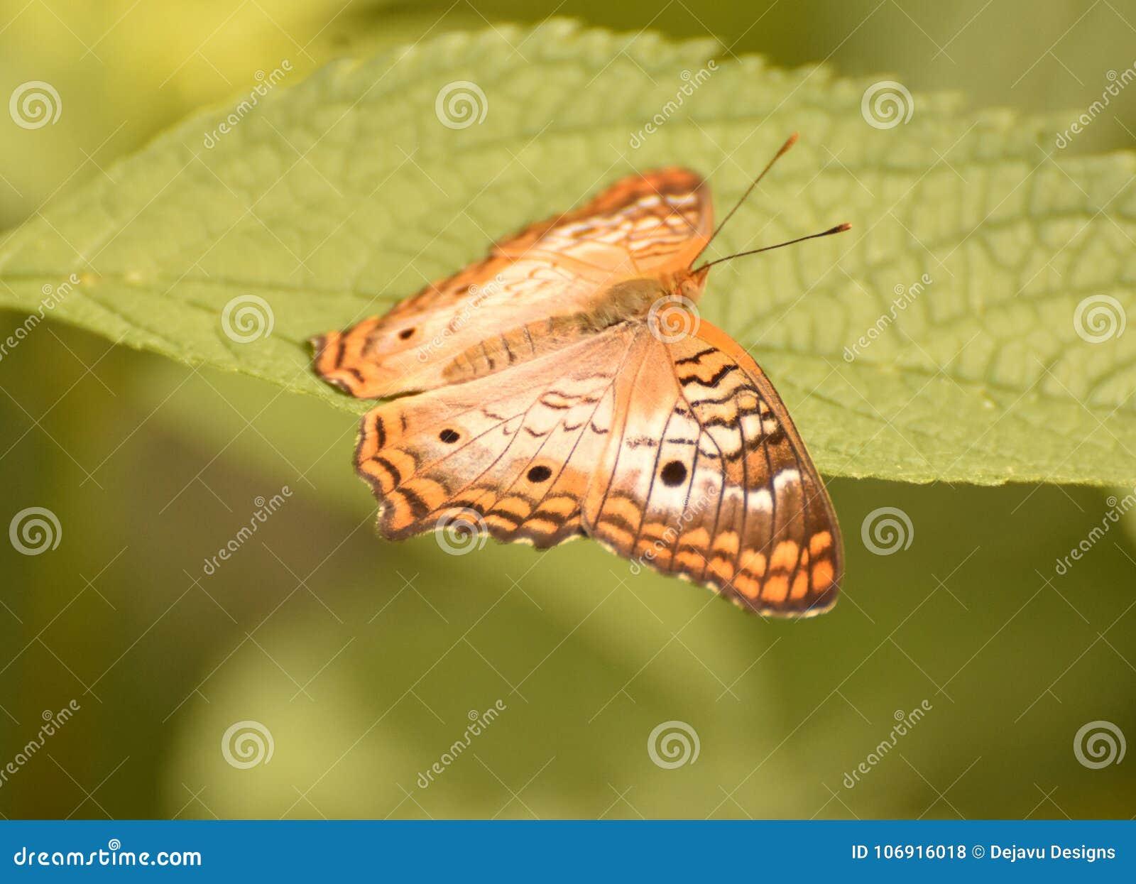Bardzo Dosyć Delikatny królowa motyl na ulistnieniu