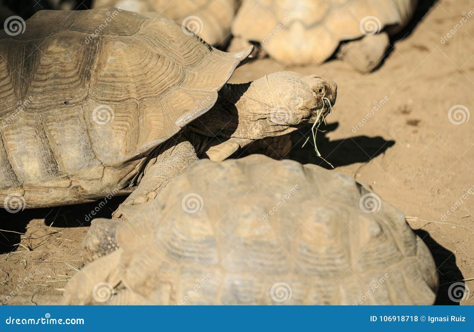 Bardzo duży żółw w zoo